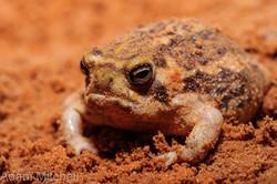 Rain frog