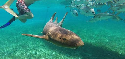 Caye Caulker Belize Tubarão