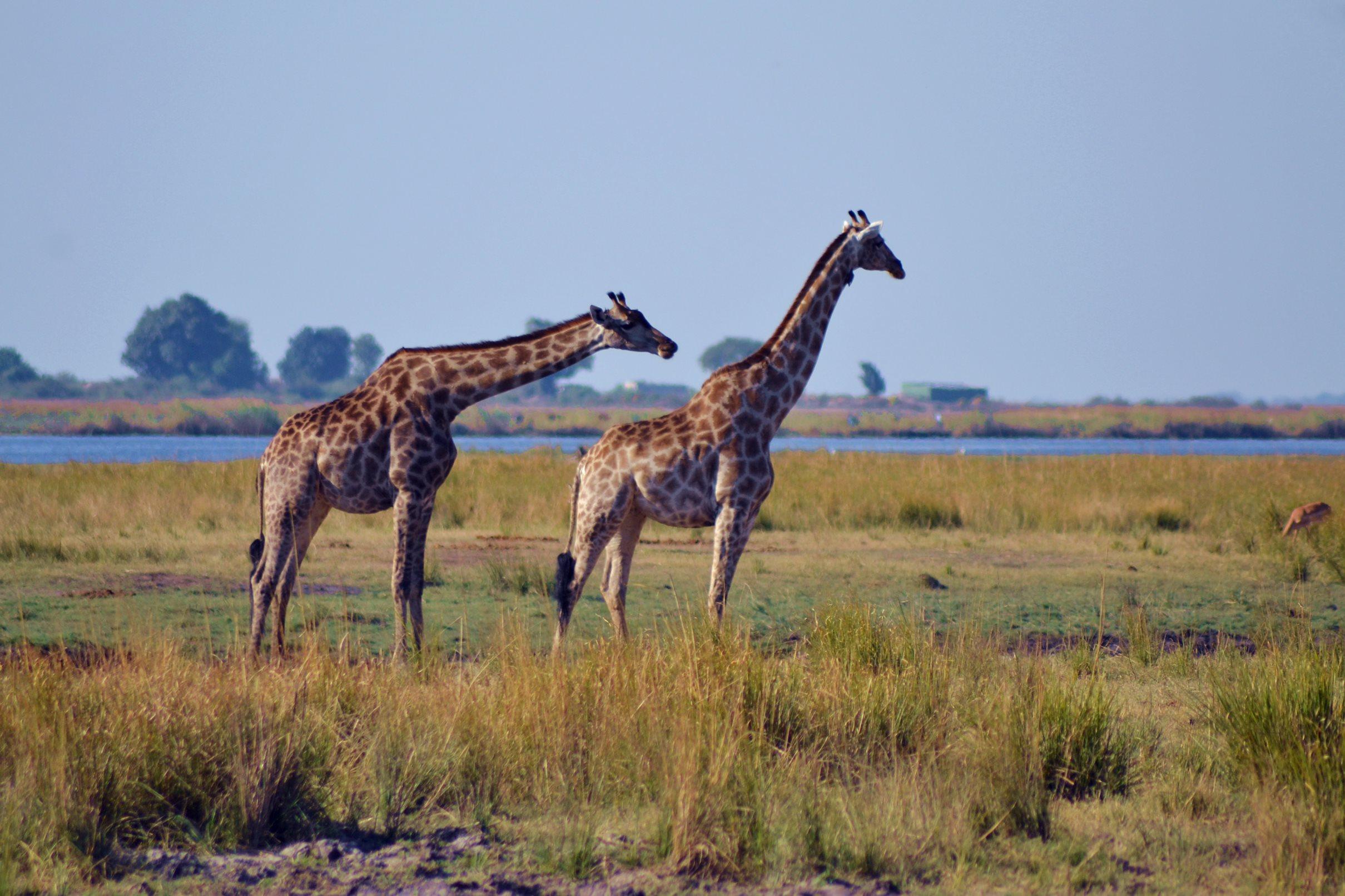 chobe_botswana_girafa_3