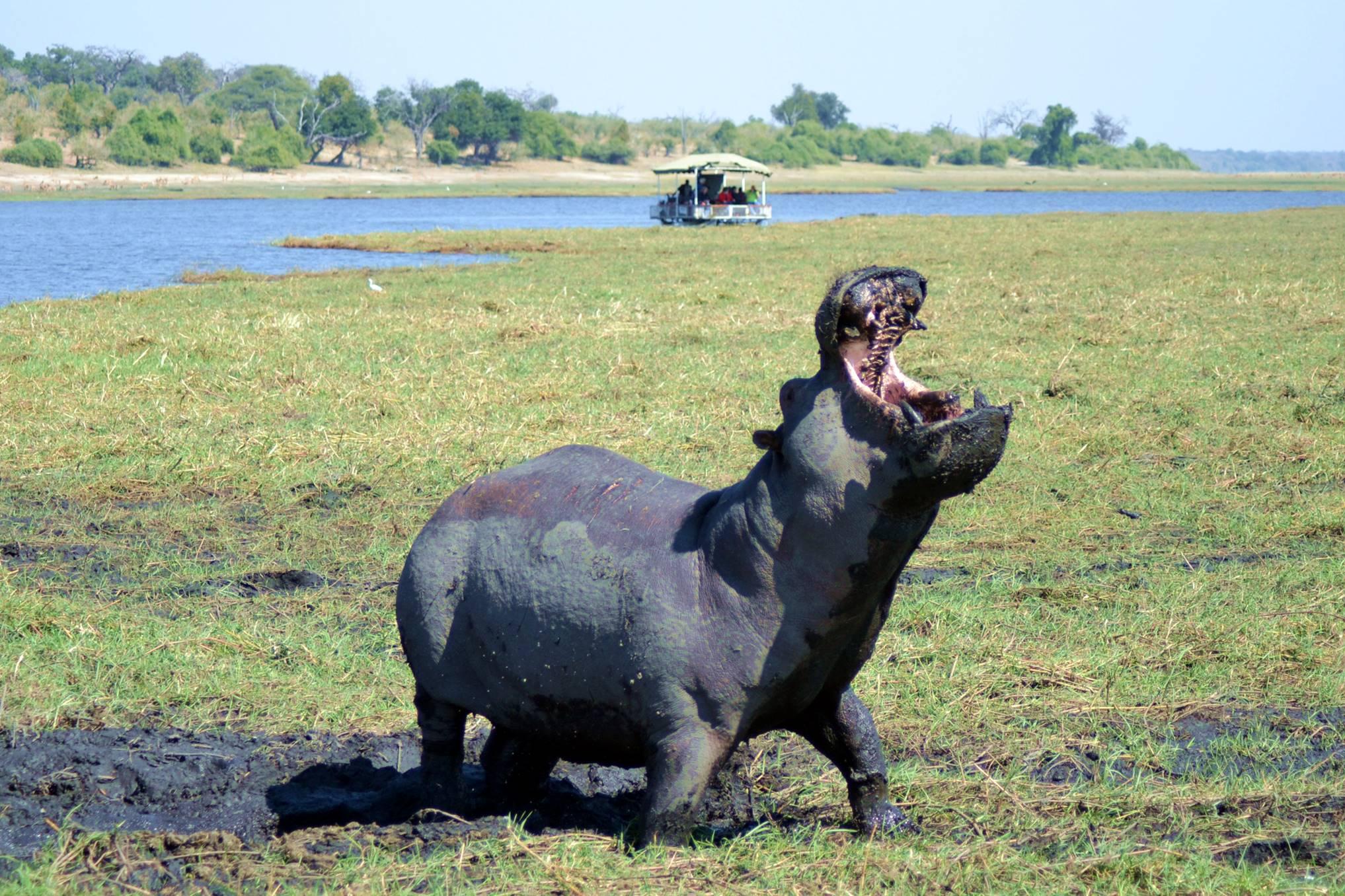 chobe_botswana_hipopotamo_2