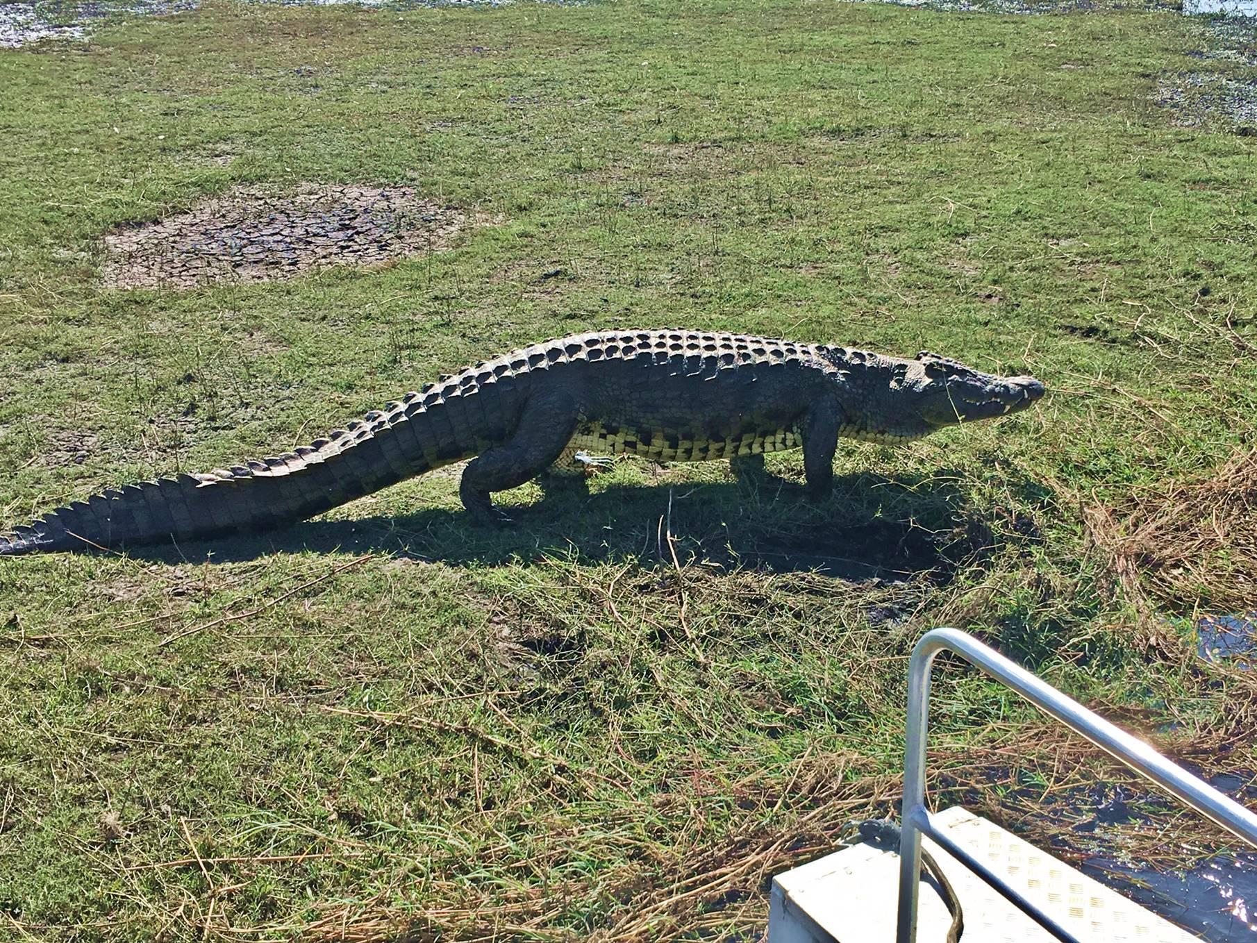 chobe_botswana_crocodilo