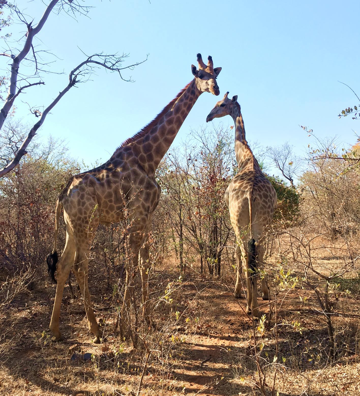 livingstone_zambia_girafas
