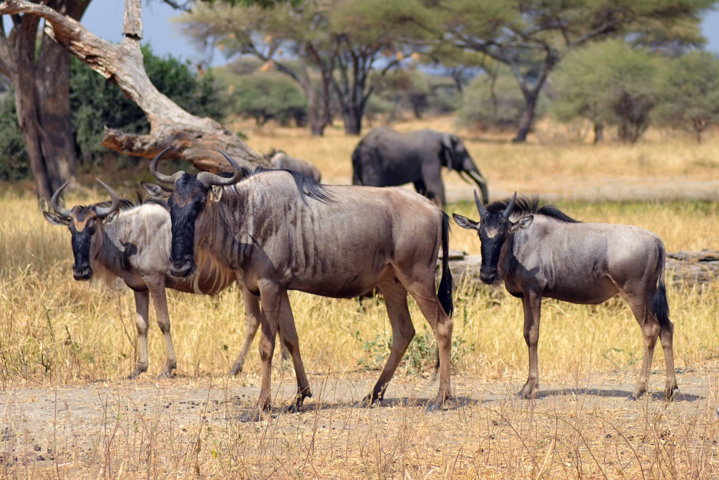 safari_tanzania_tarangire_3