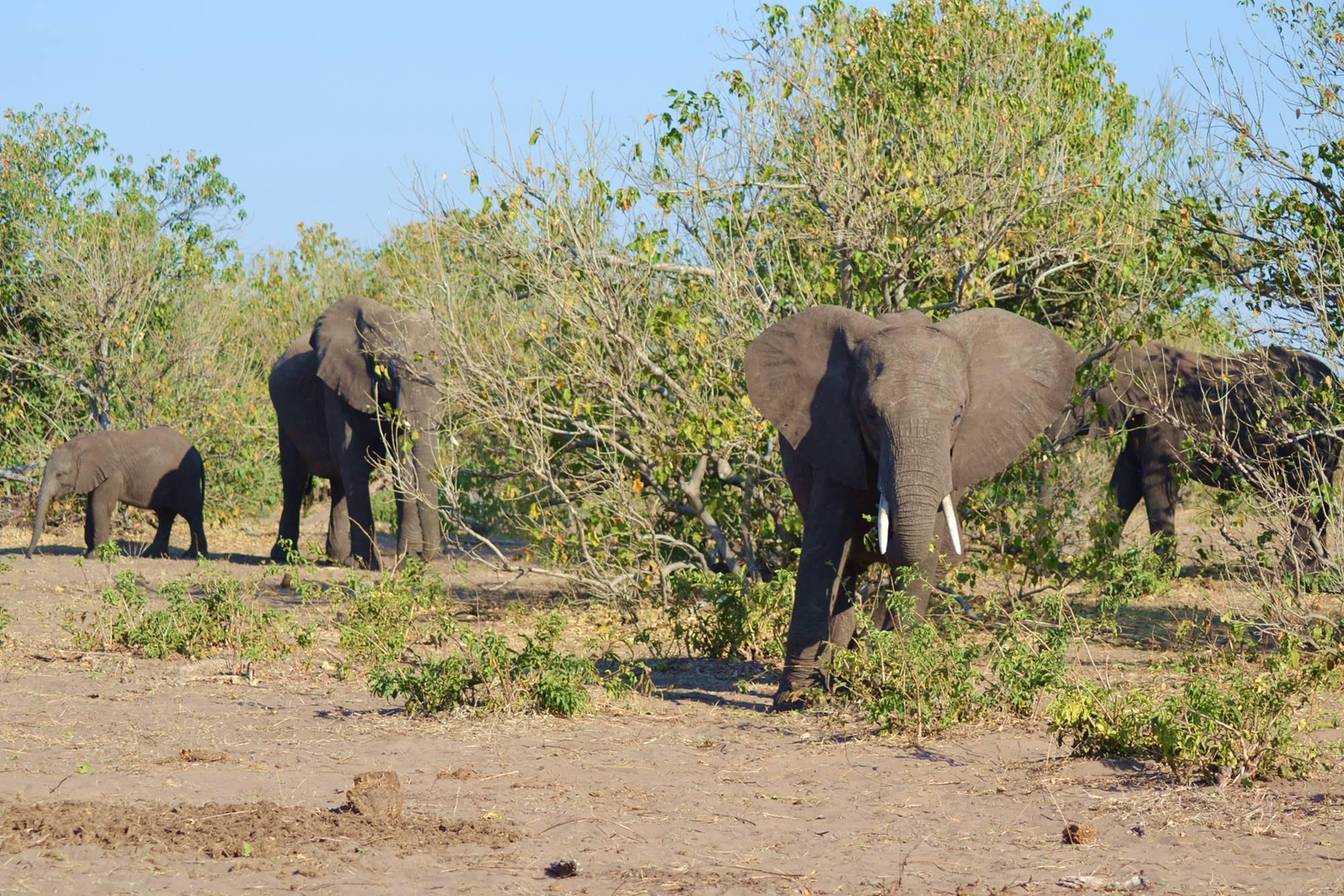 chobe_botswana_elefante_6