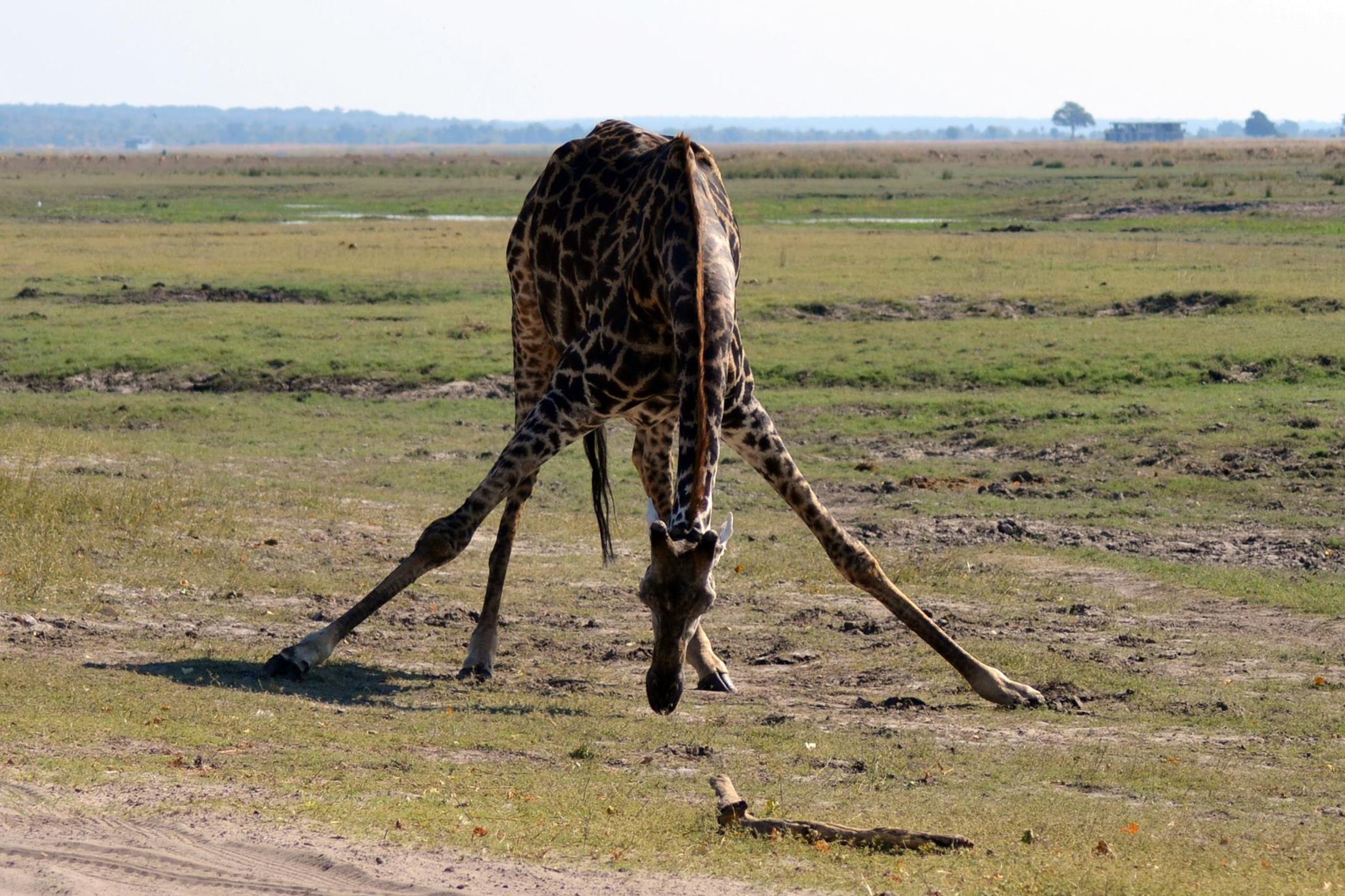 chobe_botswana_girafa