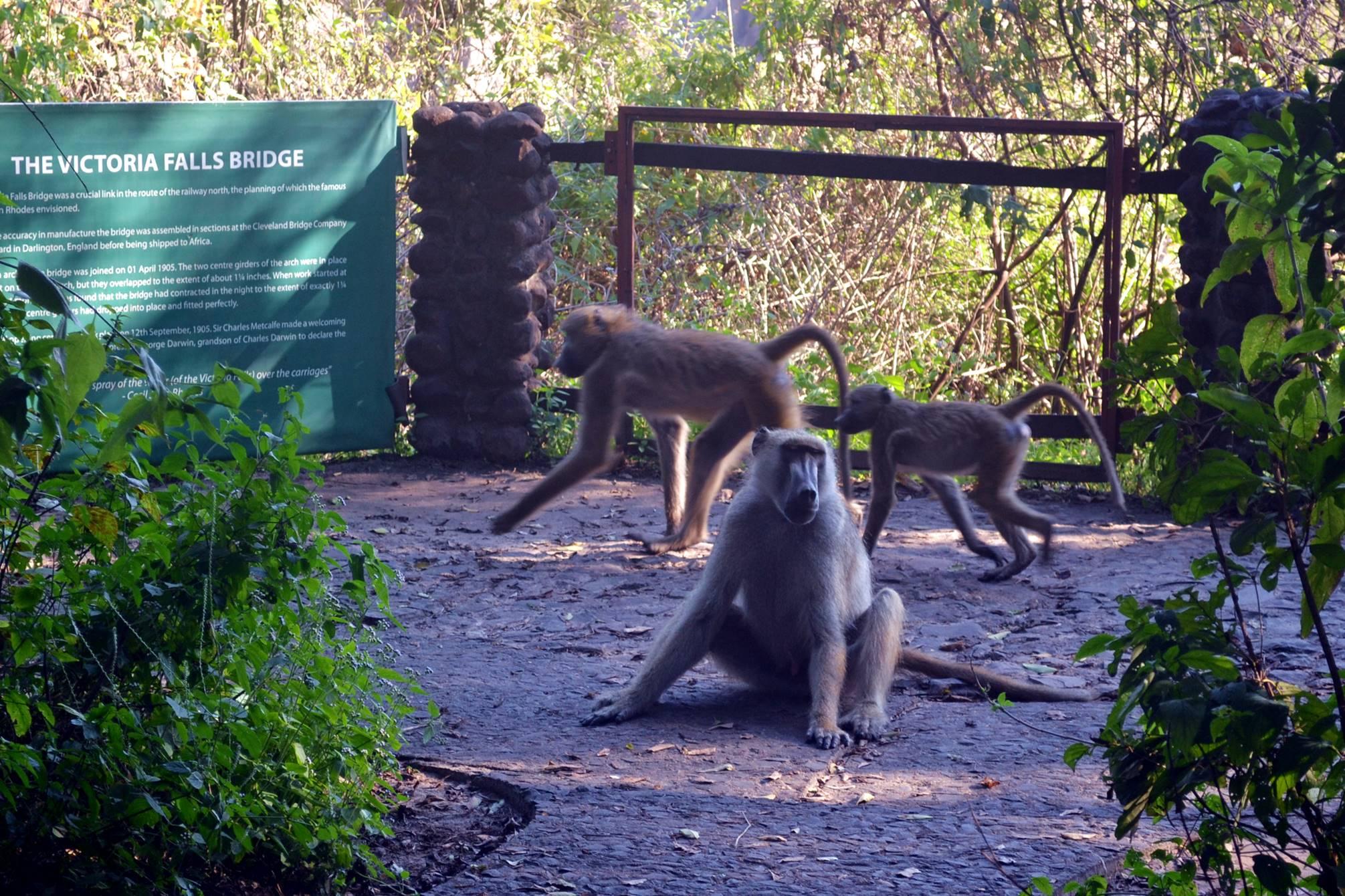 livingstone_zambia_babuinos