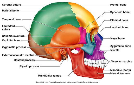 Craniosacral_diagram.jpg