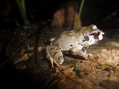 Giant Squeaker Frog__Arthroleptis krokos