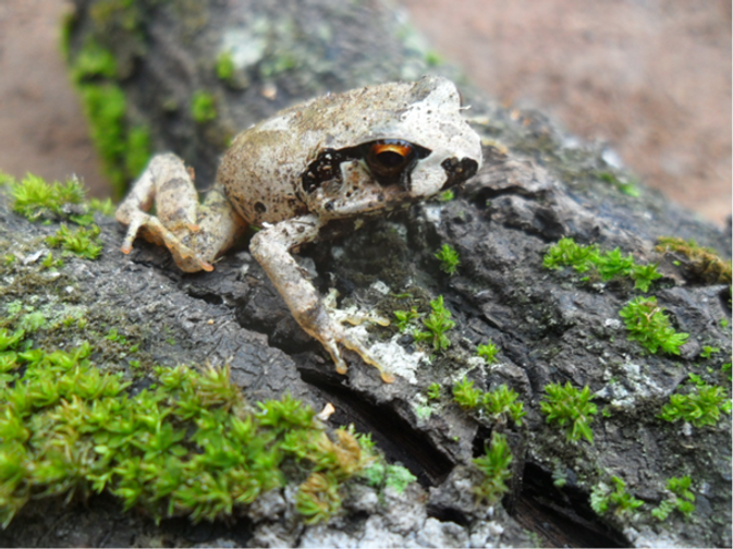 Giant Squeaker Frog.png