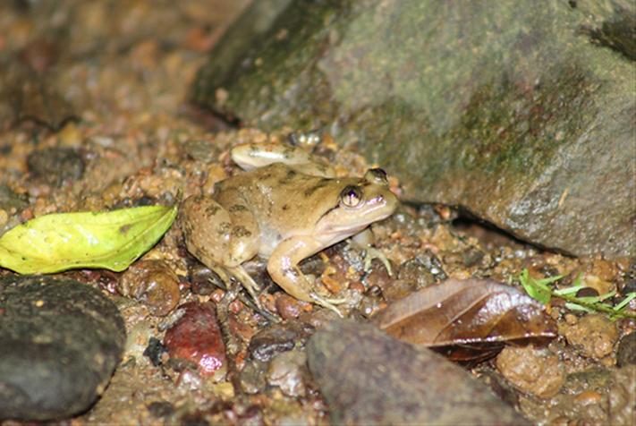 Allen Slippery Frog.png