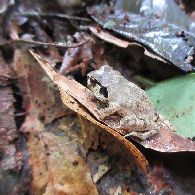 Giant Squeaker Frog, Arthroekptis krokos