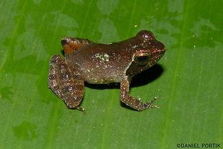 Intermediate-Puddle-Frog-Phrynobatrachus