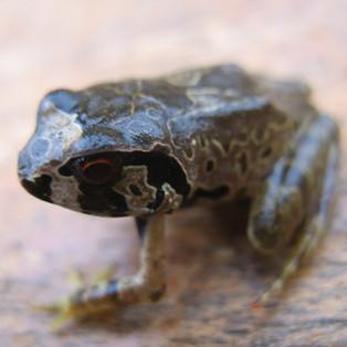 Arthroleptis-krokosua-Gilbert-Adum-550.j