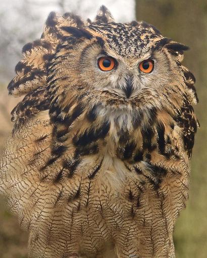 Eurasian Eagle owl about to take off- British wildlife centre, Kent