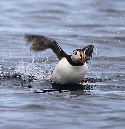 Puffin in action- Farne islands, Northumberland