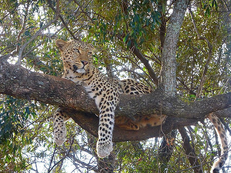 Leopard resting in the branches - Kruger national park, South Africa
