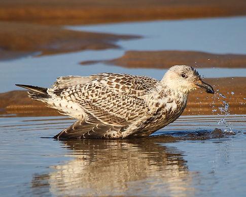 Herring gull taking a bath