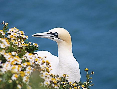 Nesting gannet- RSPB Bempton Cliffs
