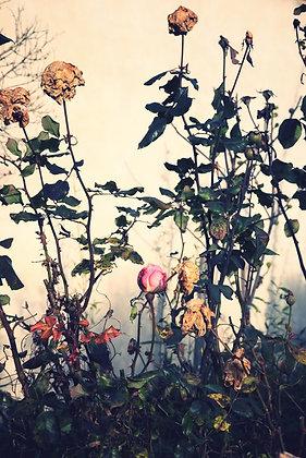 Ayline Olukman - Roses - Ayline Olukman - 48x72cm - Encadré bois clair