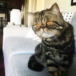 Hazel, CV PETS CAT CLIENT