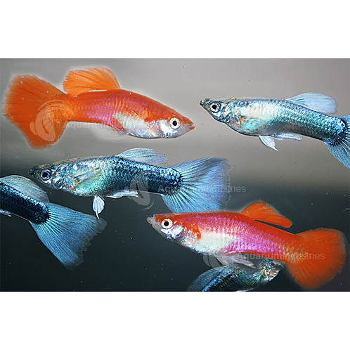 Cold Water Guppies