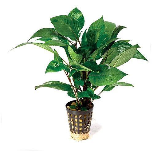 Broad Corymbosa Mesh Pot