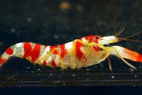 Crystal Banded Shrimp