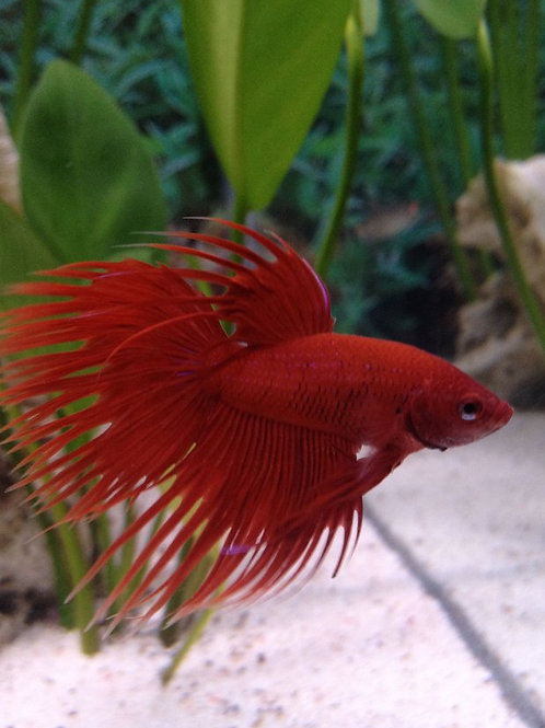 Crowntail Fighting Fish