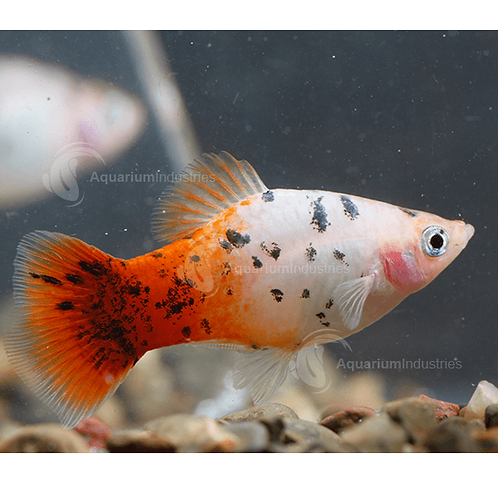 Cold Water Platy