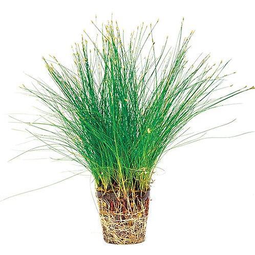 Dwarf Hairgrass Mesh Pot