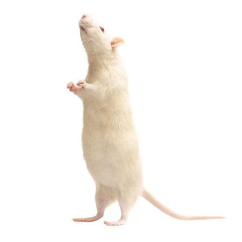 Frozen Large Adult Rats