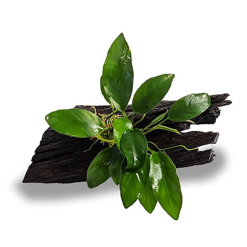 Driftwood with Anubias