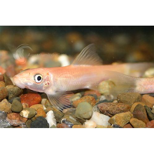 Golden Sucking Catfish