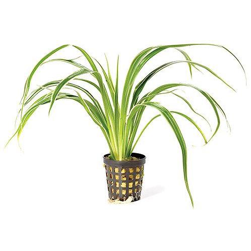 Chlorophytum Mesh Pot