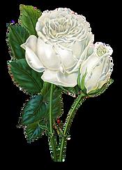 roses1.png