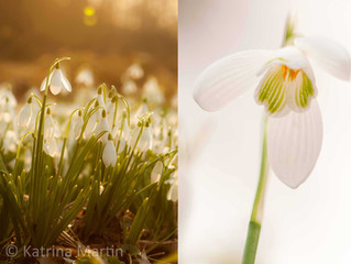 Tips and techniques for achieving beautiful photographs of snowdrops