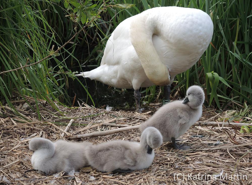 Swans7.jpg