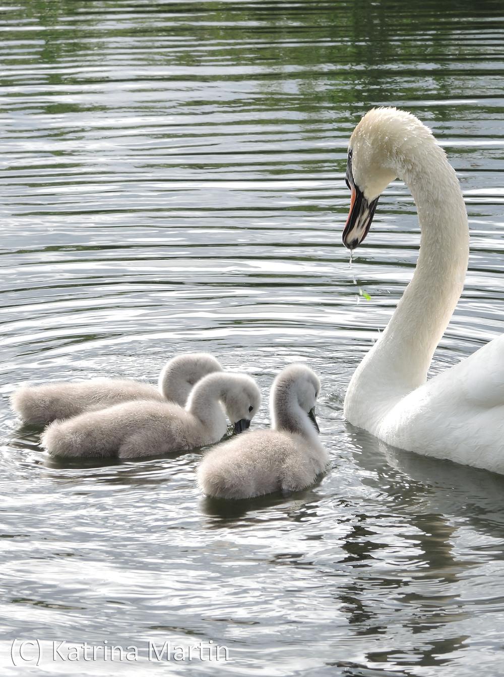 Swans6.jpg