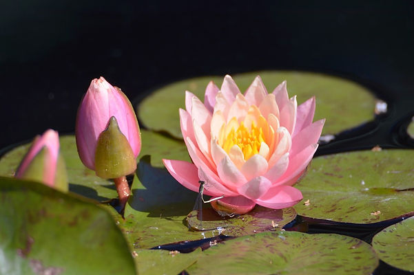 lotus-flowers_t20_yXPve9.jpg