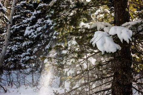 Wind blowing snow off of the tree tops