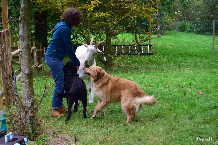 chiens et bouc