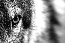 wolf-1352242_1920_edited.jpg