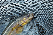 Canva - Close up of a nice walleye in th