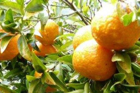 Mandarines (caisse de 12kg environ)