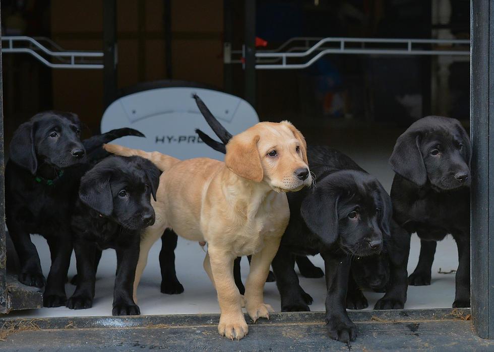 The Labrador Puppies 2021