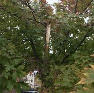 Jubilee Square Tree