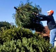 Christmas Tree disposal 4 Jan - 17 Jan