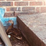 The Eton Travel Ducks!