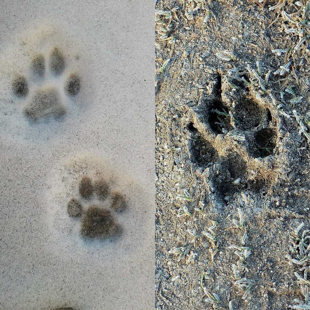 This picture illustrates the difference between the paws of cats and dogs.
