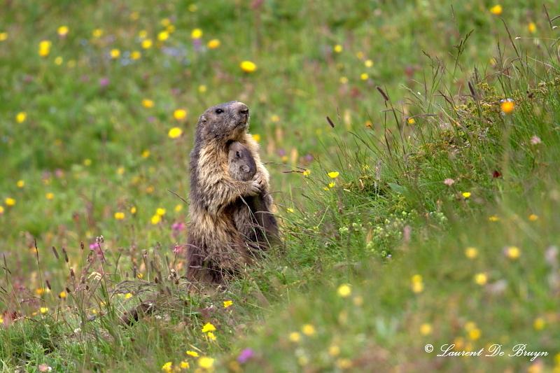 Marmotte - marmot (2)